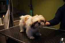 Pielęgnacja Psów Psy Rasowe Sprzedaż Krycie Strzyżenie Psów